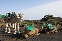 Spain, Canary Islands, La Palma, tourists may book a ride on dromedary to vulcano San Antonio