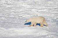 01874-110.15 Polar Bear (Ursus maritimus) near Hudson Bay, Churchill  MB, Canada