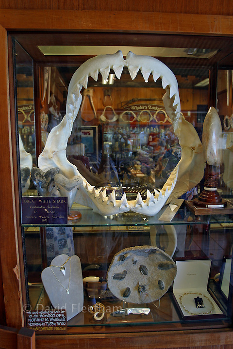 The jaws of a great white shark, Carcharodon carcharias, for sale in store window. Hawaii.