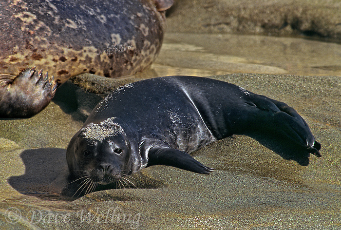 67882012 a wild two day old harbor seal pup lays on a sandy beach at children's cove la jolla on the pacific ocean in southern california