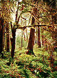 USA, Washington State, Sitka Spruce and Western Hemlock trees, Olympic National Park
