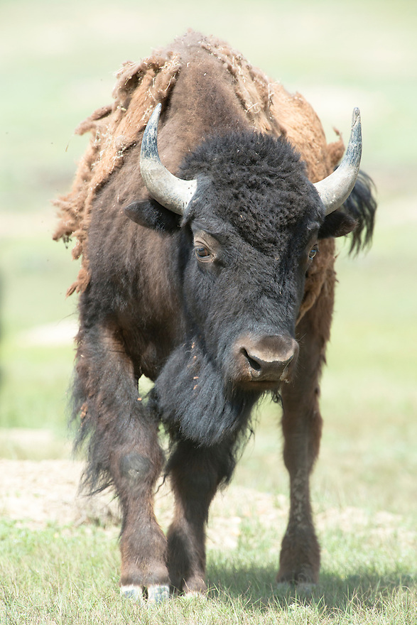 An American bison roams near the Enrico Science & Education Center on the American Prairie Reserve on Sunday.