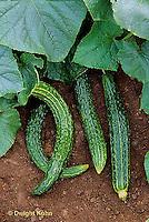 HS36-014x  Cucumber - Suyo Long variety .