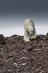 Svalbard, Norway , polar bear (Ursus maritimus)