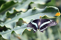 Stock photo: Swallowtail type black and aqua colored butterfly perched spreading wings on big thick leaf edge.
