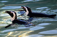 A pair of penguins in the water.<br /> Nine pairs of African Penguins, also known as the jackass penguin and black-footed penguin, were welcomed by Rome's biopark. <br /> Roma 27-12-2018 Bioparco <br /> Foto Andrea Staccioli / Insidefoto