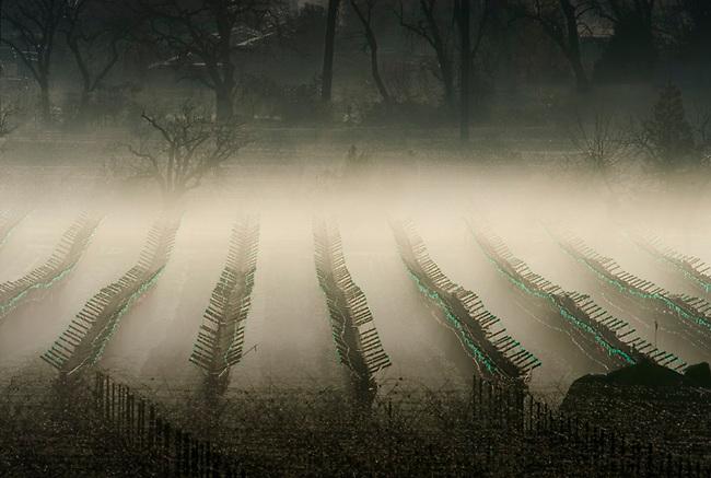 Winter morning in vineyard