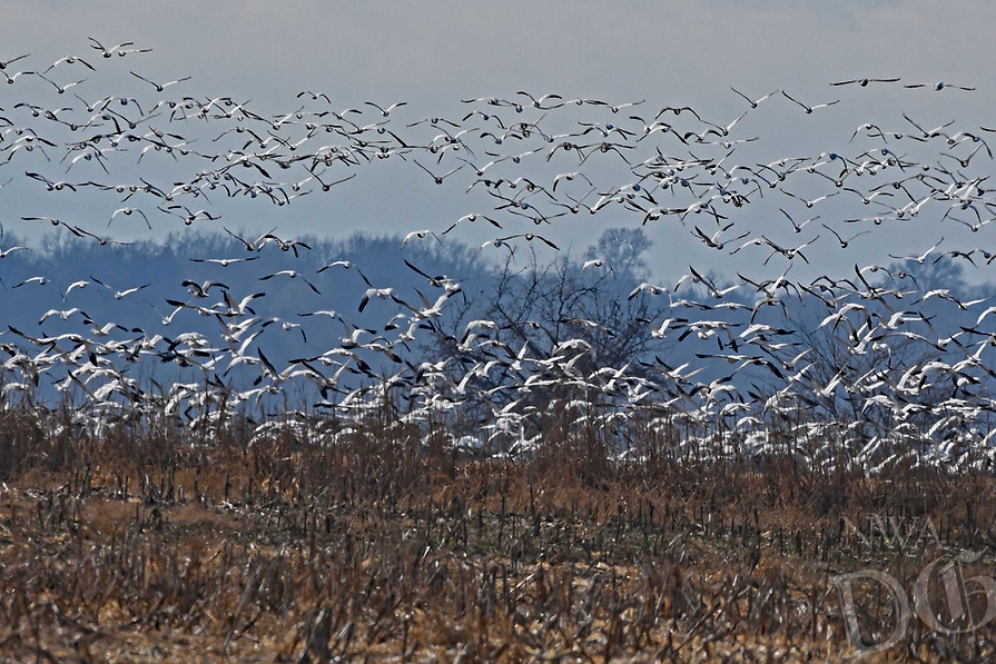 Courtesy photo/TERRY STANFILL<br /> Snow gees fly from a field Dec. 12 2018 at Sequoyah National Wildlife Refuge.