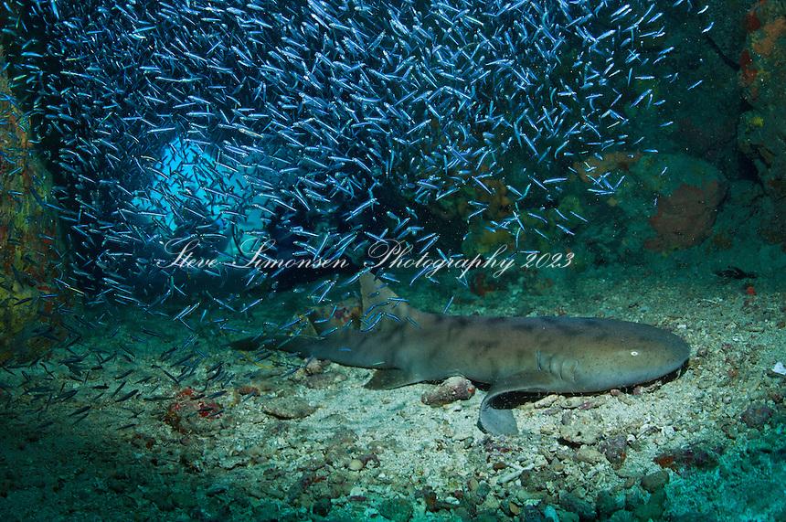 Cow Rock underwater, Nurse Shark in cave
