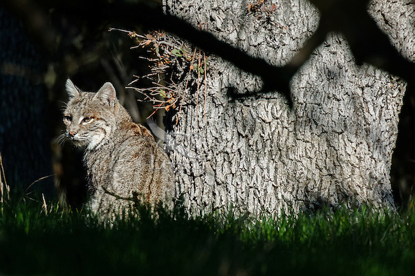 Wild Bobcat (Lynx rufus) sitting by oak tree in Central California.  December.  (Completely wild, non-captive cat.)