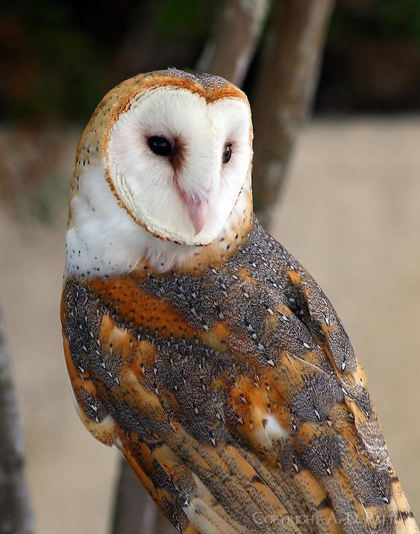 Adult male barn owl