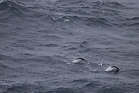 Chinstrap Penguins Pygoscelis antarcticus swimming, South Orkney islands, Scotia Sea,  Southern Ocean, Antarctica