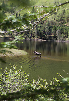 A moose swims in the river in the Parc National de la Jacques-Cartier, Quebec City, Canada