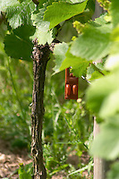 The vineyard in the garden behind the house. Grass, herbs and weed grow between the rows of vine. On one of the vines there is a brown capsule of hormones (feromones) to fight the insects with confusion sexuelle (sexual confusion), Champagne Jacquesson in Dizy, Vallee de la Marne, Champagne, Marne, Ardennes, France, low light grainy grain