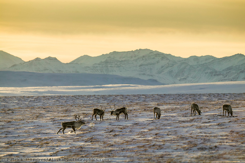 Caribou on the Arctic tundra with the Endicott mountains of the Brooks Range in the distance