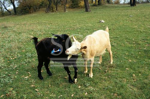 Bulgaria. Black and white goats.