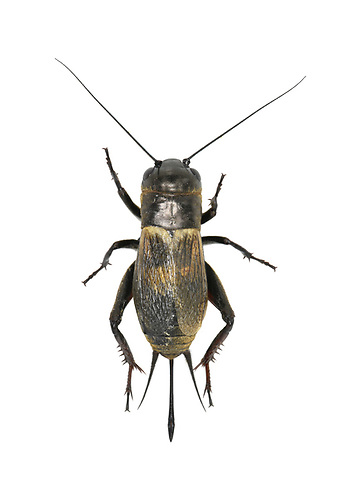 Field Cricket - Gryllus campestris<br /> female