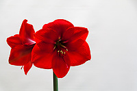 Bright red amaryllis blossoms, one directly facing, the other in profile, against a white background.
