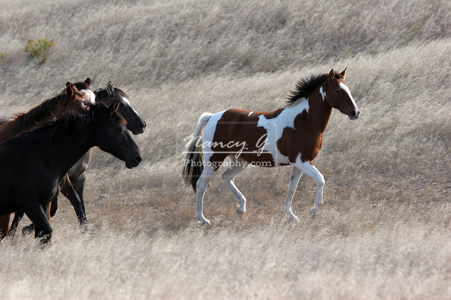 Indian pony herd running across the prairie of South Dakota on an Indian Reservation