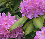 Bright pink rhododendron in the rain with water droplets visible