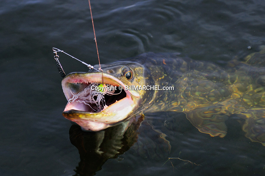 00805-004.19 Northern Pike is at boat side with spinnerbait in its mouth.  Fishing, lake, river, water, angling.