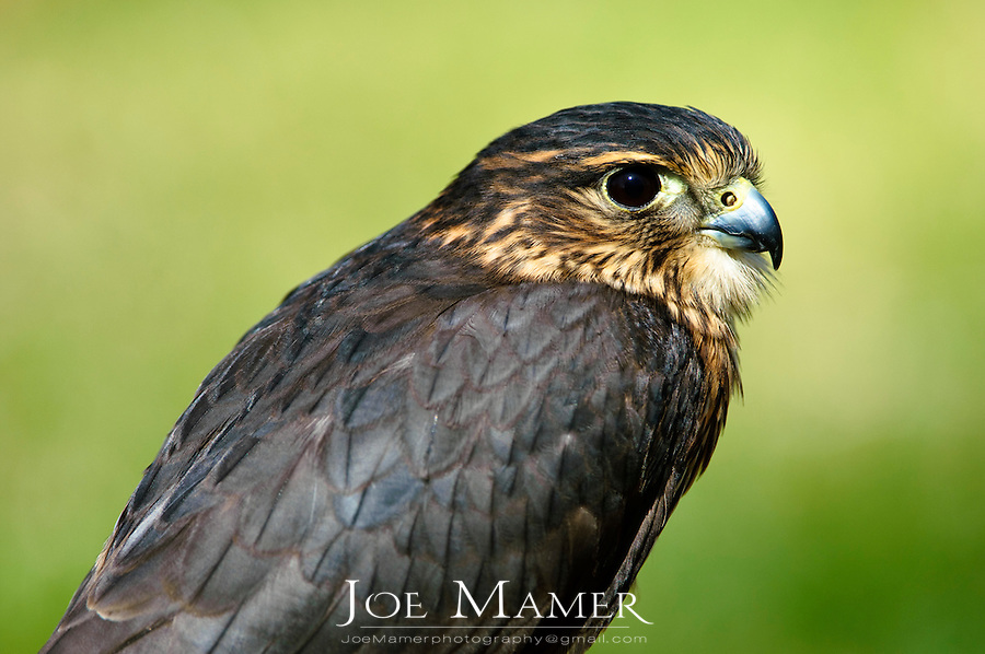"""The Merlin (Falco columbarius) is a smallish falcon that breeds in northern North America , Europe  and Asia. In North America it was once and sometimes still is colloquially called """"pigeon hawk"""" though being a falcon it is not very closely related to true hawks."""
