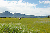 ALASKA, Homer, a large male grizzly bear in the wide open landscape of the Katmai National Park, Katmai Peninsula, Gulf of Alaska