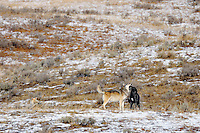Younger, six month old wild gray wolf (black) begging/greeting older male as he returns from hunt.  Alpha female is resting on the left.  These are members of the Canyon pack in central Yellowstone.