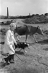 Female farmer moves cattle from one part of her farm to be milked. Disused  tin mine, near Baldhu, Chacewater , Cornwall   1978.