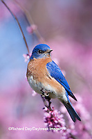 01377-17015 Eastern Bluebird (Sialia sialis) male in Eastern Redbud (Cercis canadensis) in spring, Marion Co., IL