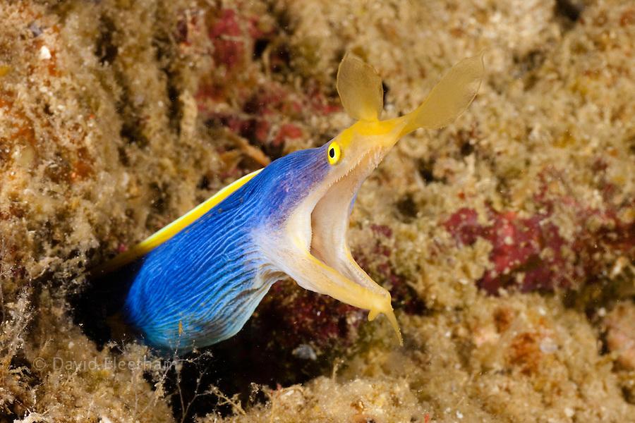 A blue ribbon eels, Rhinomuraena quaesita, Philippines.