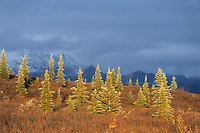 Black spruce tree forest, dwarf birch, tundra, Denali National Park, Alaska
