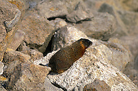 Yellow-Bellied Marmot on rocks in thermal area in Yellowstone National Park. Wyoming, Yellowstone National Park.