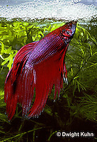 BY03-009z   Siamese Fighting Fish - male making protective bubble nest for eggs - Betta splendens