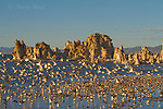 Wilson's Phalaropes (Phalaropus tricolor) flock landing at South Tufa, Mono Lake, California, USA