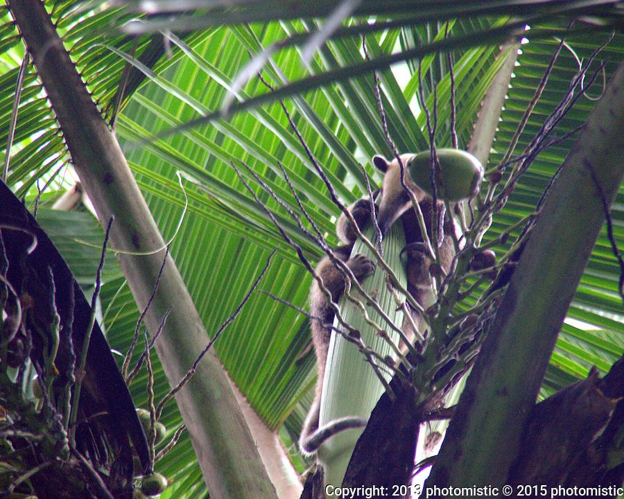 anteater @ Punta Uva