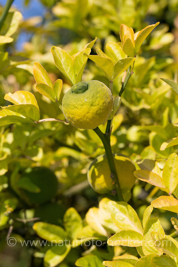 Bitter-Orange, Bitterorange, Früchte am Baum, Zitrusfrucht, Citrusfrucht, Zitrusfrüchte, Citrusfrüchte, Poncirus trifoliata, Citrus trifoliata, Trifoliate Orange, Orange amère, Poncir