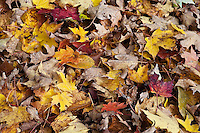 Fallen autumn leaves, Vermont, VT