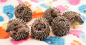 08/07/16<br /> ***WITH PICS***<br /> By Carolyn Bointon<br /> <br /> Six very cute baby hedgehogs, each one weighing less than 2oz, (55 grams), cuddle together for warmth inside a specially adapted incubator, after being rescued from almost certain death when their nest was accidentally destroyed.<br /> <br /> The half-dozen hoglets' home, in a garden in Nottingham, was disturbed by landscape gardeners, which led to their mother abandoning the nest.<br /> <br /> But help was at hand from 55-year-old Heather Mee, who runs a hedgehog rescue centre in Derby, called Prickly Ball Lodge.<br /> <br /> The prickly babies, which are less than 10 days old, will require round-the-clock care, with four-hourly feeds, until they are self-sufficient in around three month's time.<br /> <br /> They will then be released back into the wild in a safe garden near to where they were found.<br /> <br /> ends.<br /> All Rights Reserved: F Stop Press Ltd. +44(0) 7557 980669  www.fstoppress.com