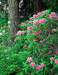Olympic National Forest, WA<br /> Pacific rhododendron (R. macropyllum) state flower of Washington in an old growth fir/hemlock forest
