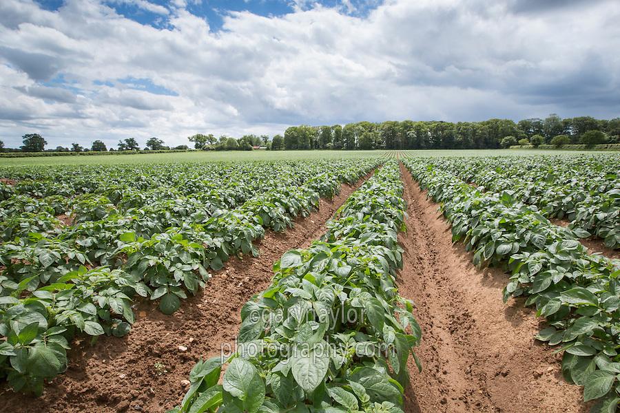 Processing potato crop in mid June