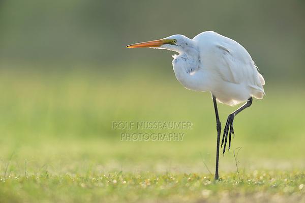 Great Egret (Ardea alba), adult standing, Dinero, Lake Corpus Christi, South Texas, USA