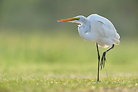 Great Egret (Ardea alba), adult standing, Dinero, Lake Corpus Christi, South Texas, USA