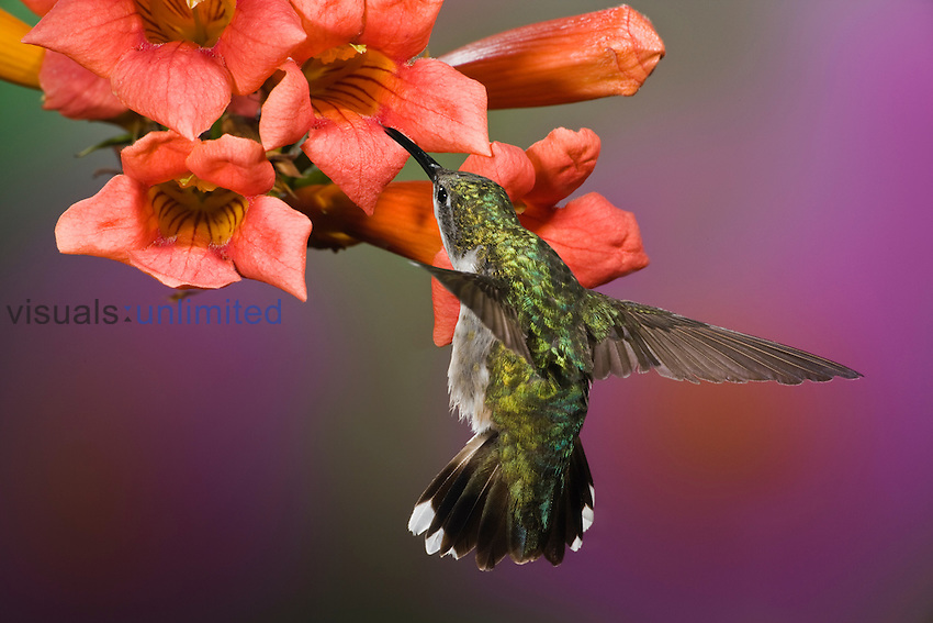 Female Ruby Throated Hummingbird in flight at a flower (Archilochus colubris), Eastern USA.