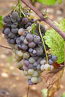 Bunches of ripe grapes. Nobel rot. Chateau Liot, Barsac, Sauternes, Bordeaux, France