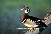 00715-022.17 Wood Duck (Aix sponsa) male on log in wetland Marion Co.   IL