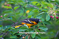 01611-09716 Baltimore Oriole (Icterus galbula) male eating serviceberry (Amelanchier canadensis)  Marion Co., IL