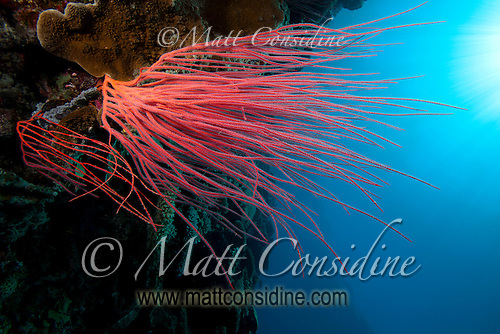 Red coral fronds reaching for the light on sheer wall, Palau Micronesia. (Photo by Matt Considine - Images of Asia Collection) (Matt Considine)