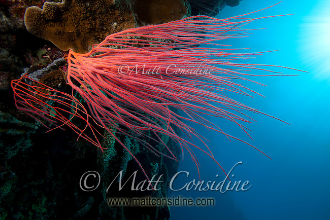 Red coral fronds reaching for the light on sheer wall, Palau Micronesia. (Photo by Matt Considine - Images of Asia Collection)