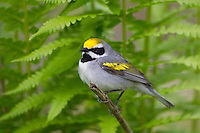 Golden-winged Warbler (Vermivora chrysoptera), male in breeding plumage on it's breeding territory in Sterling Forrest State Park, New York.